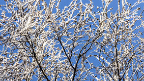 Snow-covered twigs Royalty Free Stock Photography