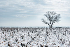 Snow-covered vineyard in winter Stock Photography