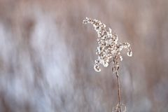 Snow covered weed against a blurred background. Beige,white,,and brown in color. With a winter feel Stock Photo
