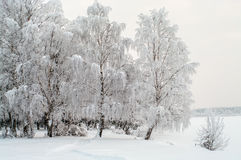 Snow covered white birches on lake shore Royalty Free Stock Image