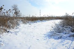 Snow-covered wild swamp with a lot of yellow reeds, covered with a layer of snow. Winter landscape in marshland.  royalty free stock photo