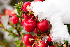 Snow covered winter berries Royalty Free Stock Photos