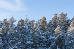 Snow covered winter forest and blue sky Royalty Free Stock Photo