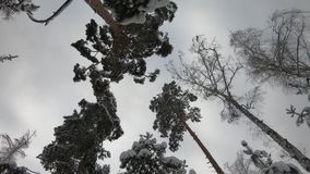 Snow covered winter forest. There is heavy snow and large snowdrifts around. Snow in large parts effectively showered from the bra. Nches of a Christmas tree stock video footage