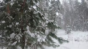 Snow covered winter forest. There is heavy snow and large snowdrifts around. Snow in large parts effectively showered from the bra. Nches of a Christmas tree stock video