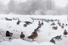 Snow-covered winter park and benches. Park and pier for feeding. Ducks and pigeons. The snow covered the autumn park.r Stock Images