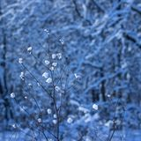 Snow covered the winter plant with small clots. Snow covered the winter plant with small lumps on a blurred background of trees royalty free stock images