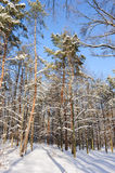 Snow covered winter trees Royalty Free Stock Photography