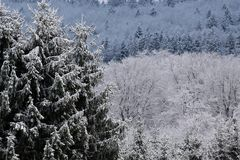 Snow covered wintry forest Royalty Free Stock Photography