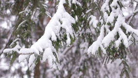 Snow-covered wood. Winter forest. Snow falls on the branches of Christmas trees. Winter mood stock video
