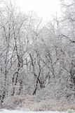 Snow Covered Wooded Area Stock Image