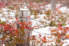Snow-covered wooden fence post surrounded by red leaves of Oregon Grape Holly stock photography
