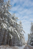Snow covered woods - beautiful forests along rural roads. Royalty Free Stock Image