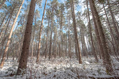Snow covered woods - beautiful forests along rural roads. Stock Photo