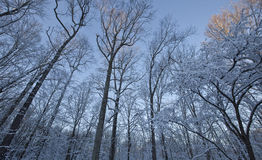 Snow-Covered Woods in Sharp Relief Royalty Free Stock Images