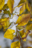 Snow covered yellow leaves. Royalty Free Stock Image