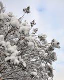 Snow-covered Zweig. Stockfoto