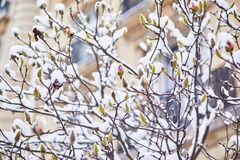 Snow covering branches of magnolia tree with flower buds Stock Photos