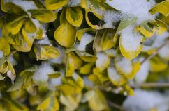 Snow covering yellow leafed bush. Icy snow covering the yellow leaves of a cold frozen bush stock photo