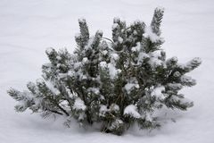 snow covers lonely fir tree in forest, a small tree on white background winter giftcard or background stock image