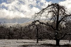 Bare Apple Trees are covered with snow in the Smokies. Stock Image