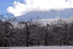 Bare Apple Trees stand beneath a snow covered mountain. Stock Photography
