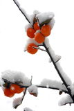 Snow covers persimmon Royalty Free Stock Image
