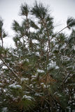 Snow covers pine tree Royalty Free Stock Photography