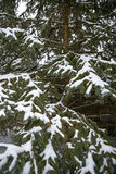 Snow covers pine tree Royalty Free Stock Images