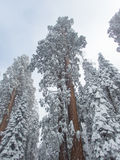 Snow covers the tops of giant sequoia and redwood trees Royalty Free Stock Images
