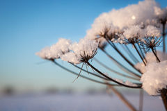 Snow on cow parsnip with sunny winter background Royalty Free Stock Images