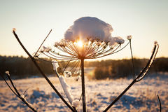 Snow on cow parsnip with sunny winter background Stock Photos