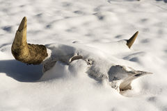 Snow on a Cow's Skull. A dried cow's skull in the snow Royalty Free Stock Photography