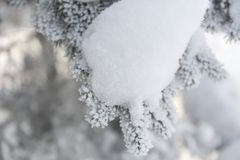 Snow-cowered fir branches. Winter blur background. Frost tree Royalty Free Stock Photography