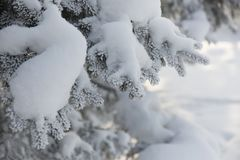 Snow-cowered fir branches. Winter blur background. Frost tree Stock Images