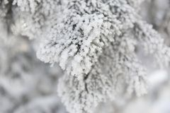 Snow-cowered fir branches. Winter blur background. Frost tree Royalty Free Stock Photo