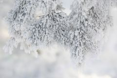 Snow-cowered fir branches. Winter blur background. Frost tree Stock Photos