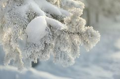 Snow-cowered fir branches. Winter blur background. Frost tree Stock Photo