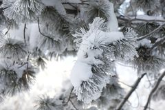Snow-cowered fir branches. Winter blur background. Frost tree Royalty Free Stock Images