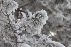 Snow-cowered fir branches. Winter blur background. Frost tree Stock Image