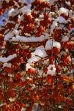 Snow & Crab Apples stock photo