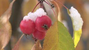 Snow on Crab Apples stock footage