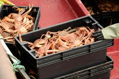 Snow crab Royalty Free Stock Image