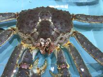 Snow Crab in water Stock Photos