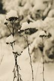 Snow Crowns. Like little crowns snow is covering the flower heads. The withered flowers are wearing the snow crowns proudly Stock Images