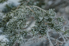 Snow Crystal on Tips of Pine Tree Royalty Free Stock Image
