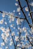 Snow crystals on tree branches. Beautiful snow crystals on branches against blue sky on a freezing cold January day Royalty Free Stock Photos