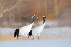 Two crane, pair.. Wildlife scene from snowy nature. Cold winter. Snowy. Snowfall two Red-crowned crane in snow meadow, with snow s stock image