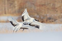 Snow dance in nature. Wildlife scene from snowy nature. Cold winter. Snowy. Snowfall two Red-crowned crane in snow meadow, with sn stock photo