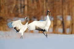 Snow dance in nature. Wildlife scene from snowy nature. Cold winter. Snowy. Snowfall two Red-crowned crane in snow meadow, with royalty free stock image